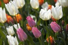 Розовый цветок тюльпана Стоковые Изображения RF