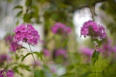 Розовый цветок флокса Стоковая Фотография RF