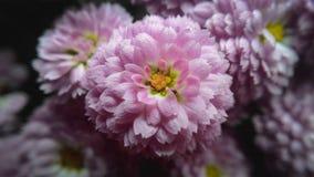 Розовый цветок хризантемы Стоковое Фото