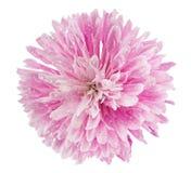 Розовый цветок хризантемы Стоковая Фотография