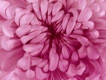 Розовый цветок хризантемы closeup Макрос Стоковые Изображения