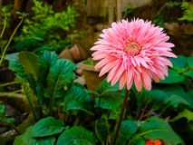 Розовый цветок цвета смотря настолько красивый стоковые изображения rf