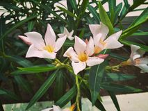 Розовый цветок цвета Стоковое Изображение RF