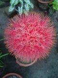 Розовый цветок шарика стоковое фото rf