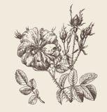Розовый цветок иллюстрация штока