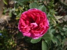 Розовый цветок стоковые фото