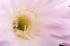 Розовый цветок Стоковая Фотография RF