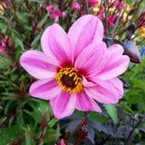 Розовый цветок стоковое изображение