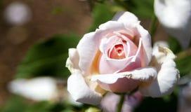 Розовый цветок стоковое фото rf