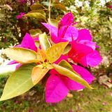 Розовый цветок Стоковое Фото