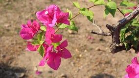 Розовый цветок Bougaville видеоматериал