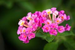 Розовый цветок camara lantana Стоковое фото RF