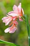 Розовый цветок canna Стоковая Фотография