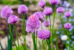 Розовый цветок chives, schoenoprasum лукабатуна Стоковое Изображение