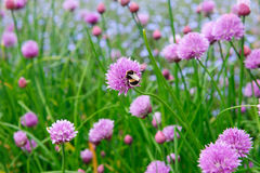 Розовый цветок chives, schoenoprasum лукабатуна Стоковые Фото