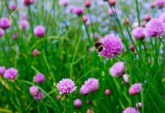 Розовый цветок chives, schoenoprasum лукабатуна Стоковое Фото