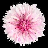 Розовый цветок Cornflower изолированный на черной предпосылке Стоковая Фотография