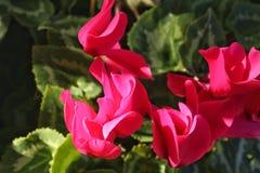 Розовый цветок Cyclamen в саде стоковое изображение