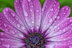 Розовый цветок Daliah с капельками воды Стоковое Изображение RF