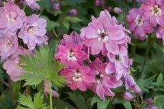 Розовый цветок delphinium Стоковые Изображения RF