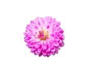 Розовый цветок Dhalia в ненастном саде на белой предпосылке Стоковое Изображение RF