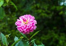 Розовый цветок Dhalia в ненастном саде на естественном свете, мягком foc Стоковое Изображение RF