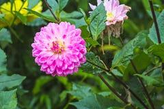 Розовый цветок Dhalia в ненастном саде на естественном свете, мягком foc Стоковое Изображение