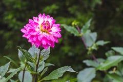 Розовый цветок Dhalia в ненастном саде на естественном свете, мягком foc Стоковое Фото