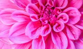 Розовый цветок dhalia Стоковые Фотографии RF