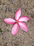 Розовый цветок Frangipani на песке Стоковая Фотография