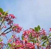 Розовый цветок frangipani, Phumeria стоковые фотографии rf