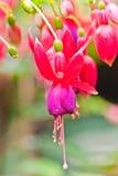 Розовый цветок Fuschia с падениями воды. Стоковая Фотография