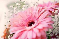 Розовый цветок gerber Стоковое фото RF