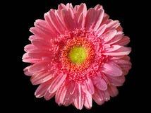 Розовый цветок gerbera в падениях росы стоковые фотографии rf