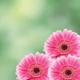 Розовый цветок gerbera, конец вверх, покрасил предпосылку degradee Семья маргаритки Стоковое Изображение