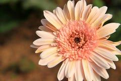 Розовый цветок gerbera, предпосылка Стоковая Фотография RF