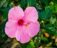 Розовый цветок Hibiscus Стоковые Фото