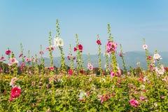 Розовый цветок hollyhock в саде Стоковые Изображения RF