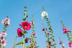 Розовый цветок hollyhock в саде Стоковое Изображение RF