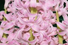 Розовый цветок hyacinthus в ярком свете стоковое фото