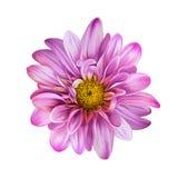Розовый цветок Mona Лизы, цветок Стоковые Изображения RF