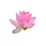 Розовый цветок nuphar, вод-лилия, пруд-лилия, spatterdock, nucifera Nelumbo, также известное как индийский лотос, священный лотос Стоковая Фотография RF