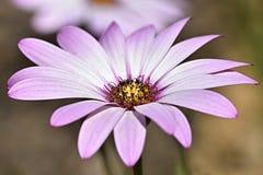 Розовый цветок - Osteospermum - африканская маргаритка стоковые фото