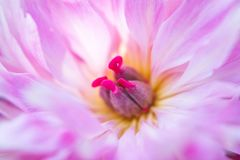 Розовый цветок Paeonia пиона растет в саде Стоковое Изображение RF