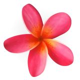Розовый цветок Plumeria изолированный на белизне Стоковое Изображение RF