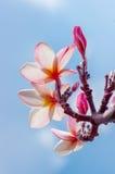 Розовый цветок plumeria Стоковое фото RF