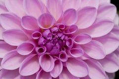 Розовый цветок Pompom георгина Стоковые Изображения RF
