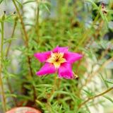 Розовый цветок Portulaca grandiflora, розовый мох, 11 o& x27; часы Mex Стоковое Фото