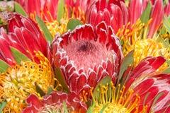 Розовый цветок protea куста сахара, конец вверх с protea валика штыря Стоковые Изображения RF