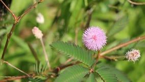 Розовый цветок pudica мимозы акции видеоматериалы